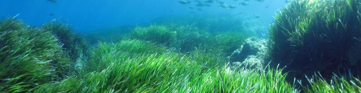 Herbier de Posidonie (Posidonia oceanica)